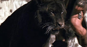 The 1982 film 'The Beastmaster' used this tiger dyed black as a panther. A real black tiger should look similar to this dyed animal. This screenshot is copyrighted by those who own the copyright to the film.