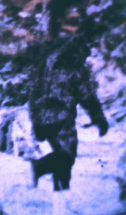 This is a frame from the famous Patterson film, showing a Bigfoot who has been nicknamed 'Patty.' The copyright of this movie still is most likely owned by Rene Dahinden.