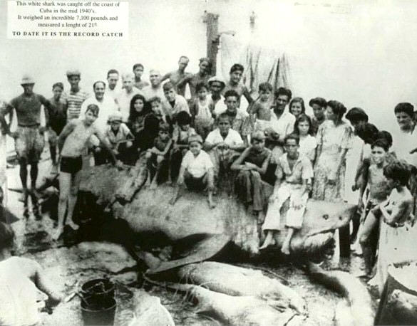 A giant shark caught near Cuba. The measured length is currently disputed. This photo is widespread on the Internet and it is unclear who owns the picture copyright.