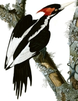 Ivory-billed woodpecker picture by John James Audubon, with its copyright now in the public domain.