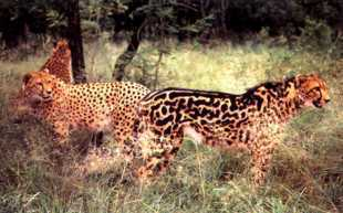 The animal on the right is a king cheetah. The other cheetah shows normal coloring. I do not know who owns the copyright to this photo.