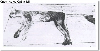 A photograph of what is thought to be a dead onza. I do not know who owns the copyright to this photo.