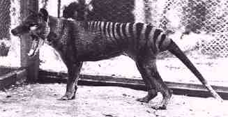 A photograph of a real thylacine, before they were declared extinct. I do not know who owns the copyright to this photo.